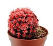 Cactus red stock photo