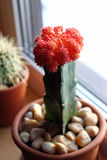 Cactus with red cap. On the windowsill in a clay pot Stock Image
