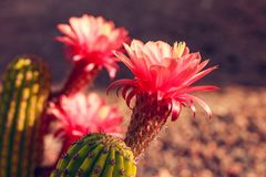 cactus red flower blossomed on a sunny day Stock Photography