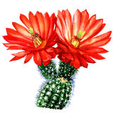 Cactus with red flower isolated, watercolor illustration on white Stock Images