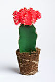 Cactus with red flower Stock Photography