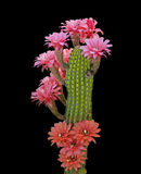 Cactus with red flowers Stock Images