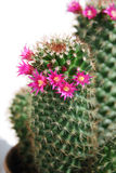 Cactus with red flowers Stock Photography