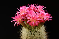 Cactus with red flowers Royalty Free Stock Photo