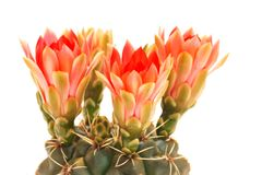 Cactus and red flowers, On a white background Royalty Free Stock Images