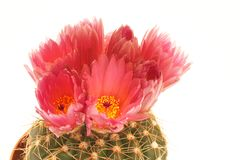 Cactus and red flowers Royalty Free Stock Photos