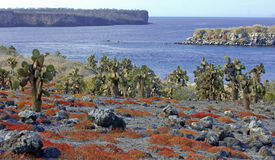 Cactus and Red ground cover, Galapagos Islands Stock Image