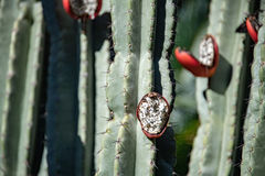 Cactus red open fruit on plant detail royalty free stock photography