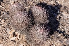 Cactus in Red Rock Conservation Area, Nevada, USA. Closeup of barrel cactus along the hiking trails of Red Rock Conservation Area, just outside of Las Vegas royalty free stock photo