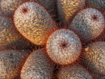 Cactus with red spikes Royalty Free Stock Photo