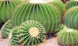 Cactus redondo gigante exótico Fotos de archivo