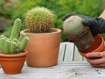 Cactus is repotted with black leather gloves stock photos