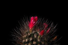Cactus with rich red flowers on black background. Chilean cactus chocolate color with black long needles, spikes. Royalty Free Stock Photography