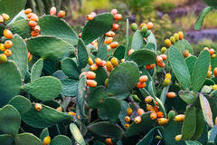 Cactus with ripe fruits Royalty Free Stock Photo