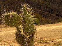 Cactus on Road Royalty Free Stock Photography