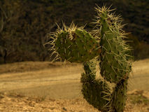 Cactus on Road Stock Photo