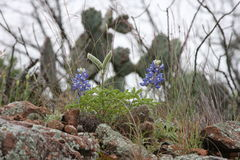 Cactus, Rock and, Blue Bonnets Royalty Free Stock Image