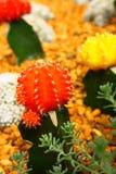 Cactus rojo, amarillo Imágenes de archivo libres de regalías