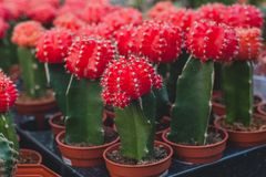 Cactus rojos, pequeños, cactus en un pote Fotografía de archivo