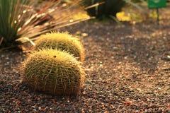 Cactus rond Images libres de droits
