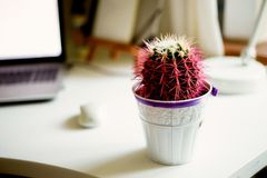 Cactus rosa nel vaso bianco Sul desktop Alloggi la pianta Immagine Stock Libera da Diritti