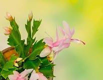 Cactus rosado, blanco del Schlumbergera, de la Navidad o flores del cactus de la acción de gracias, en una maceta marrón, cierre  Foto de archivo