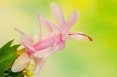 Cactus rosado, blanco del Schlumbergera, de la Navidad o flores del cactus de la acción de gracias, en una maceta marrón, cierre  Fotos de archivo