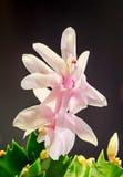 Cactus rosado, blanco del Schlumbergera, de la Navidad o flores del cactus de la acción de gracias, en una maceta marrón, cierre  Imágenes de archivo libres de regalías