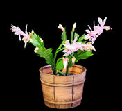 Cactus rosado, blanco del Schlumbergera, de la Navidad o flores del cactus de la acción de gracias, en una maceta marrón, cierre  Fotos de archivo libres de regalías