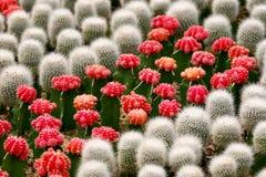 Cactus rosso Fotografia Stock