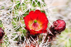 Cactus rosso della tazza di claret Immagine Stock