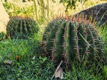 Cactus rotondo Fotografia Stock Libera da Diritti