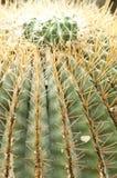Cactus rotondo Immagine Stock