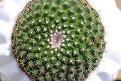 Cactus rotondo del puntaspilli Fotografia Stock Libera da Diritti