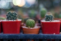 Cactus rotondo nella struttura rossa del fondo dei vasi Fotografie Stock