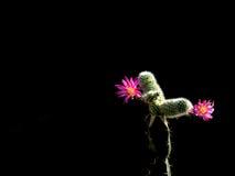Cactus rouge avec de beaux modèles Photos stock