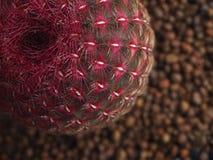 Cactus rouge avec de beaux modèles Image stock
