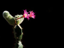 Cactus rouge avec de beaux modèles Photo stock