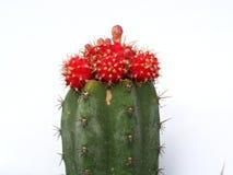 Cactus rouge sur le fond blanc photo libre de droits