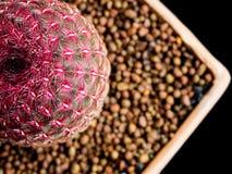 Cactus rouge sur le fond noir Photos libres de droits