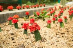 Cactus rouges greffés de lune dans le jardin botanique du ` s de Penang Photo libre de droits
