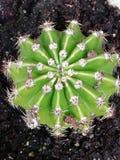 Cactus. Round called echinopsis áurea stock photos