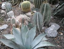 Cactus round, desert plant, cacti Royalty Free Stock Images