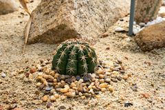 Cactus round spines spread on the sand.  Royalty Free Stock Photo