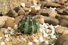 Cactus round spines spread on the sand.  Stock Photos