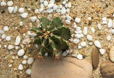 Cactus round spines spread on the sand.  Royalty Free Stock Photography