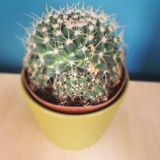 Cactus. Round cactus on a table royalty free stock photo