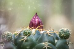 Cactus roze knop royalty-vrije stock fotografie
