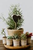 Cactus, rozemarijn en succulents in jute stock afbeeldingen