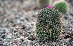 Cactus s'élevant dans les roches dans le jardin Photos libres de droits